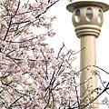 2013.3.23天元宮櫻花