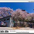 陽明山東大寺 櫻花,紫藤花