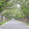 【嘉義-旅行】4月季節限定苦楝花隧道