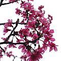 烏來櫻花祭+火鍋大圍爐   2007-02-10