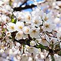 小樽市街賞櫻花
