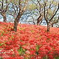 日本關東賞花