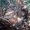 嘿美黃魚鴞的故事