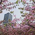 新竹公園河津櫻 三合院