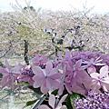 2017 5月5日函館五稜郭塔 春櫻 函館公園 函館山