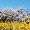 福島花見山.仙台西公園、柳岡公園櫻花