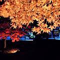 2019京都秋遊 妙覺寺法姿園.相國寺. 北野天滿宮夜楓