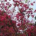 2011精彩的一年。劍湖山慈光寺。櫻花季。。。