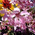 新春櫻花踩花行