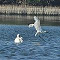 裡海燕鷗+黑面琵鷺+紅嘴鷗