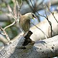 葡萄胸椋鳥-nr.129