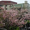 淡水天元宮賞櫻2009/3/21