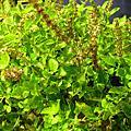 清熱解毒的仙草