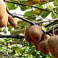 水果營養之王奇異果
