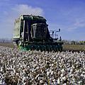 高經濟作物的棉花