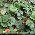 98.2.24採收草莓