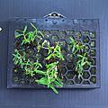 蜂格板種植記錄_霍山米斛