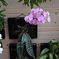 蜂格板種植記錄_蝴蝶蘭
