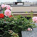 頂樓的玫瑰園-2012年