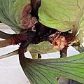 蜂格板種植記錄_鹿角蕨