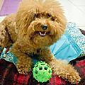 日本DoggyMan天然橡膠犬用益智玩具-圓錐(M號)