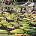 2014/10/2出淤泥而不染㊣雙溪公園夜鷺把大王蓮當伸展台散步