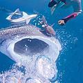 #日本#沖繩旅遊#鯨鯊浮潛活動