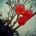 2013.02.04 附近國小的櫻花綻放