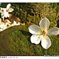 2008.05.03 台北縣_三峽油桐花