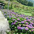 2015竹子湖繡球花