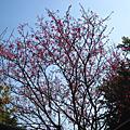 生活-20110228-樹林三峽賞櫻