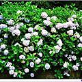 【南投│景點】杉林溪繡球花季