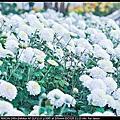 2013 新社花毯節
