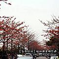 【台南】白河。林初埤木棉花道
