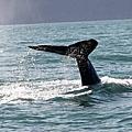 冰島Iceland 2012  Akureyri, Husavik 賞鯨 & 海豹