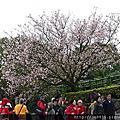 天元宮櫻花季