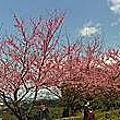 2/15天元宮三色櫻花正美麗