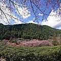 2105武陵茶園