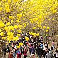2015黃花風鈴木