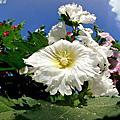 員林。陽光蜀葵