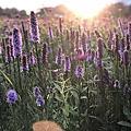花壇麒麟菊