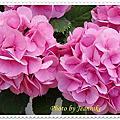 日本街道上紫陽花(繡球花)