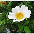 琉球野薔薇