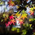 福壽山賞楓吃蜜蘋果