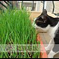 第一次吃小麥草(貓草)