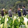 2012竹子湖海芋季