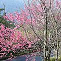 陽明山櫻花及其他