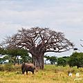 【坦尚尼亞】獵遊一 Tarangire National Park