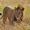 【坦尚尼亞】獵遊五 Serengeti National Park第二天