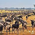 【坦尚尼亞】獵遊六  Serengeti National Park第三天 動物大遷徙